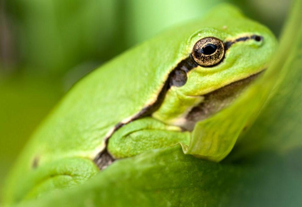 A close up of a leaf frog